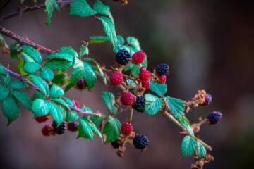 Single serving iced red raspberry leaf tea. Photo by Wahid Hacene via Pexels